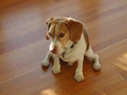 Beagle on wooden floor