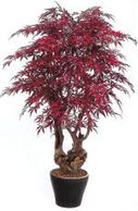 Silk Japanese maple plant