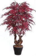 Silk Japanese maple plant