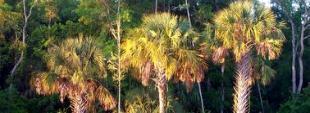 Sunrise on palm trees